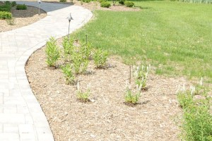 Planted divided perennials